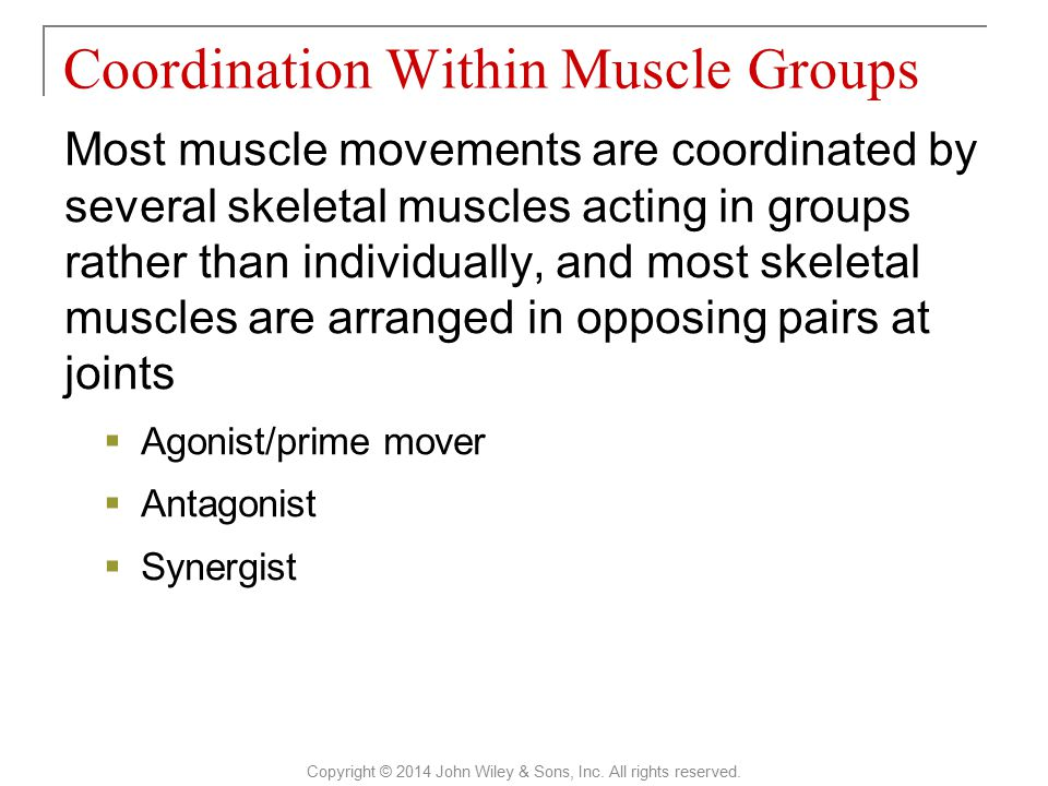 Most muscle movements are coordinated by several skeletal muscles acting in groups rather than individually, and most skeletal muscles are arranged in opposing pairs at joints  Agonist/prime mover  Antagonist  Synergist Coordination Within Muscle Groups Copyright © 2014 John Wiley & Sons, Inc.