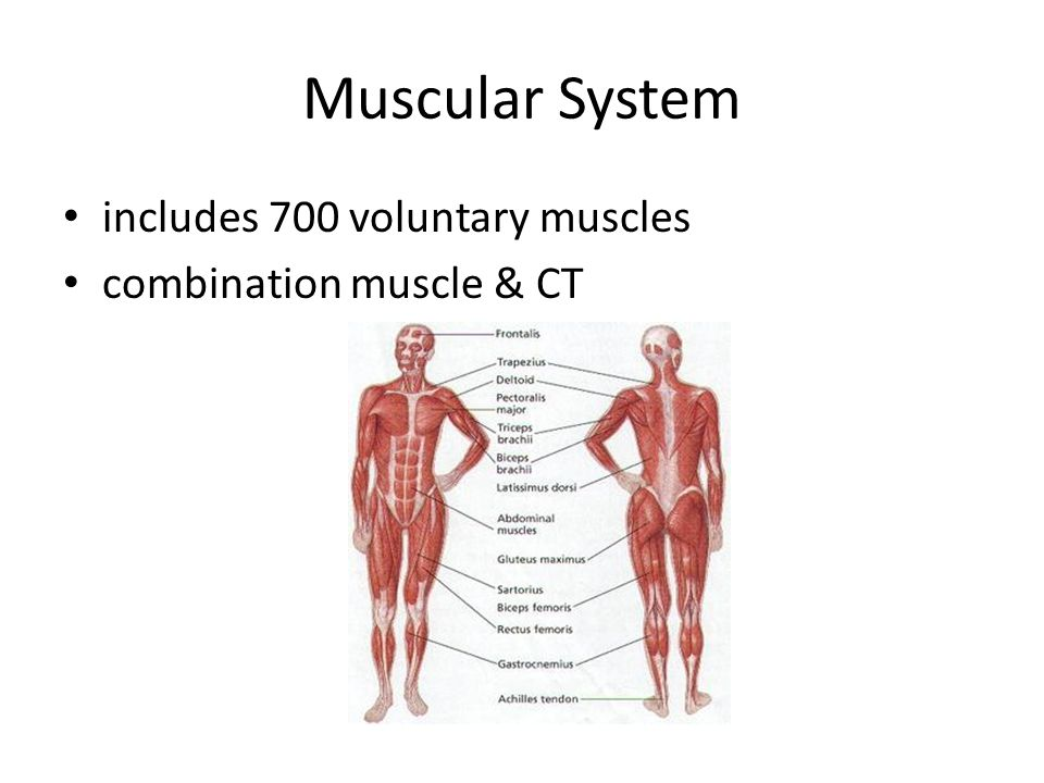 Muscular System includes 700 voluntary muscles combination muscle & CT