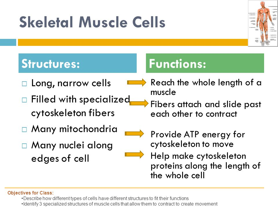 Skeletal Muscle Cells  Long, narrow cells  Filled with specialized cytoskeleton fibers  Many mitochondria  Many nuclei along edges of cell Reach the whole length of a muscle Fibers attach and slide past each other to contract Provide ATP energy for cytoskeleton to move Help make cytoskeleton proteins along the length of the whole cell Structures:Functions: Objectives for Class: Describe how different types of cells have different structures to fit their functions Identify 3 specialized structures of muscle cells that allow them to contract to create movement