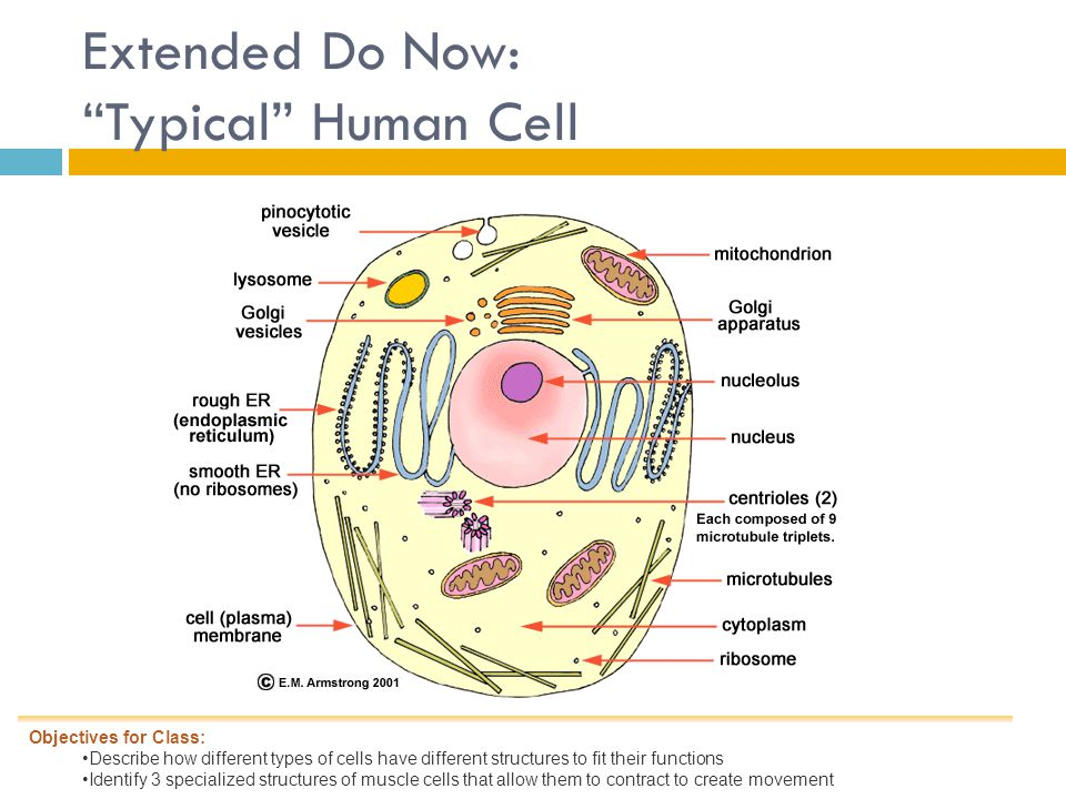 Extended Do Now: Typical Human Cell Objectives for Class: Describe how different types of cells have different structures to fit their functions Identify 3 specialized structures of muscle cells that allow them to contract to create movement