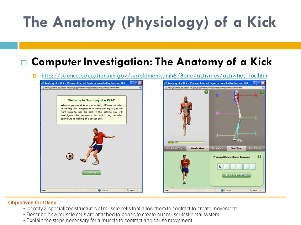 The Anatomy (Physiology) of a Kick  Computer Investigation: The Anatomy of a Kick  http://science.education.nih.gov/supplements/nih6/Bone/activities/activities_toc.htm http://science.education.nih.gov/supplements/nih6/Bone/activities/activities_toc.htm Objectives for Class: Identify 3 specialized structures of muscle cells that allow them to contract to create movement Describe how muscle cells are attached to bones to create our musculoskeletal system Explain the steps necessary for a muscle to contract and cause movement