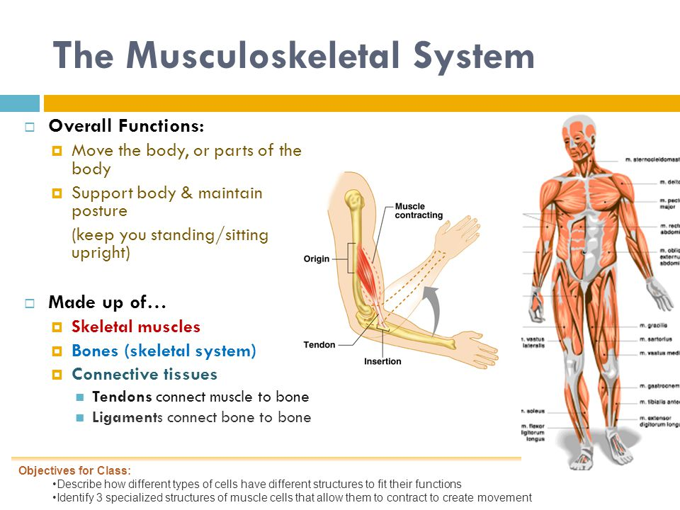 The Musculoskeletal System  Overall Functions:  Move the body, or parts of the body  Support body & maintain posture (keep you standing/sitting upright)  Made up of…  Skeletal muscles  Bones (skeletal system)  Connective tissues Tendons connect muscle to bone Ligaments connect bone to bone Objectives for Class: Describe how different types of cells have different structures to fit their functions Identify 3 specialized structures of muscle cells that allow them to contract to create movement