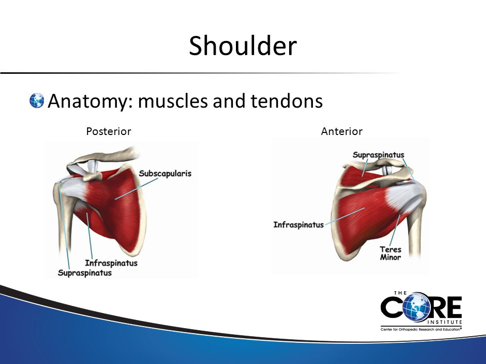 Shoulder Anatomy: muscles and tendons PosteriorAnterior