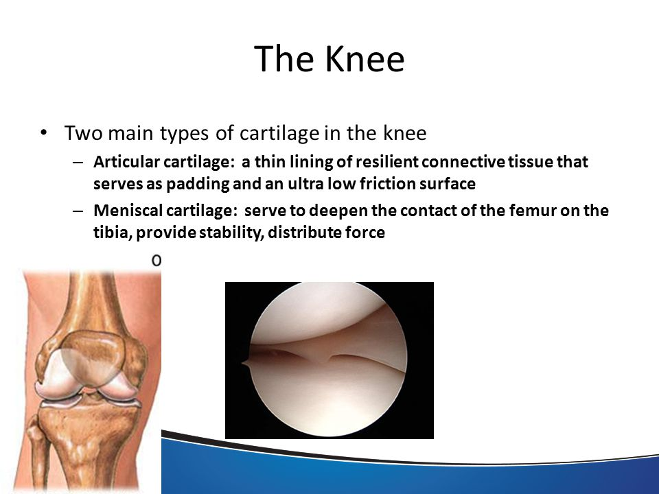 The Knee Two main types of cartilage in the knee – Articular cartilage: a thin lining of resilient connective tissue that serves as padding and an ultra low friction surface – Meniscal cartilage: serve to deepen the contact of the femur on the tibia, provide stability, distribute force