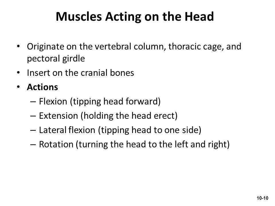 Muscles Acting on the Head Originate on the vertebral column, thoracic cage, and pectoral girdle Insert on the cranial bones Actions – Flexion (tippin