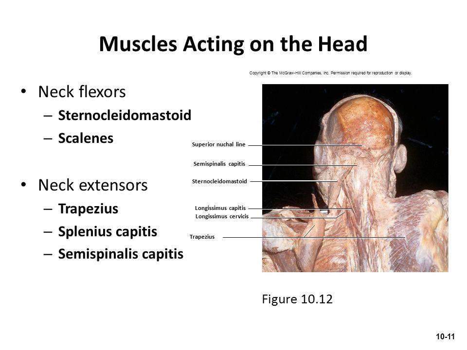 Muscles Acting on the Head Neck flexors – Sternocleidomastoid – Scalenes Neck extensors – Trapezius – Splenius capitis – Semispinalis capitis 10-11 Fi