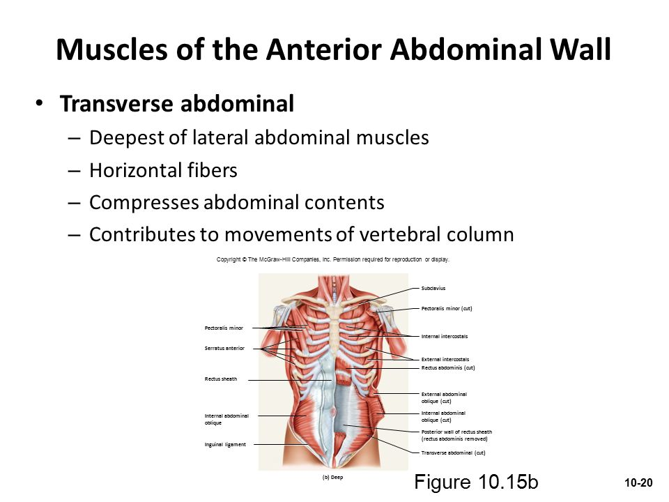 Muscles of the Anterior Abdominal Wall Transverse abdominal – Deepest of lateral abdominal muscles – Horizontal fibers – Compresses abdominal contents