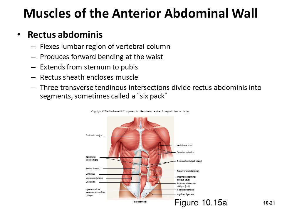 Muscles of the Anterior Abdominal Wall Rectus abdominis – Flexes lumbar region of vertebral column – Produces forward bending at the waist – Extends f