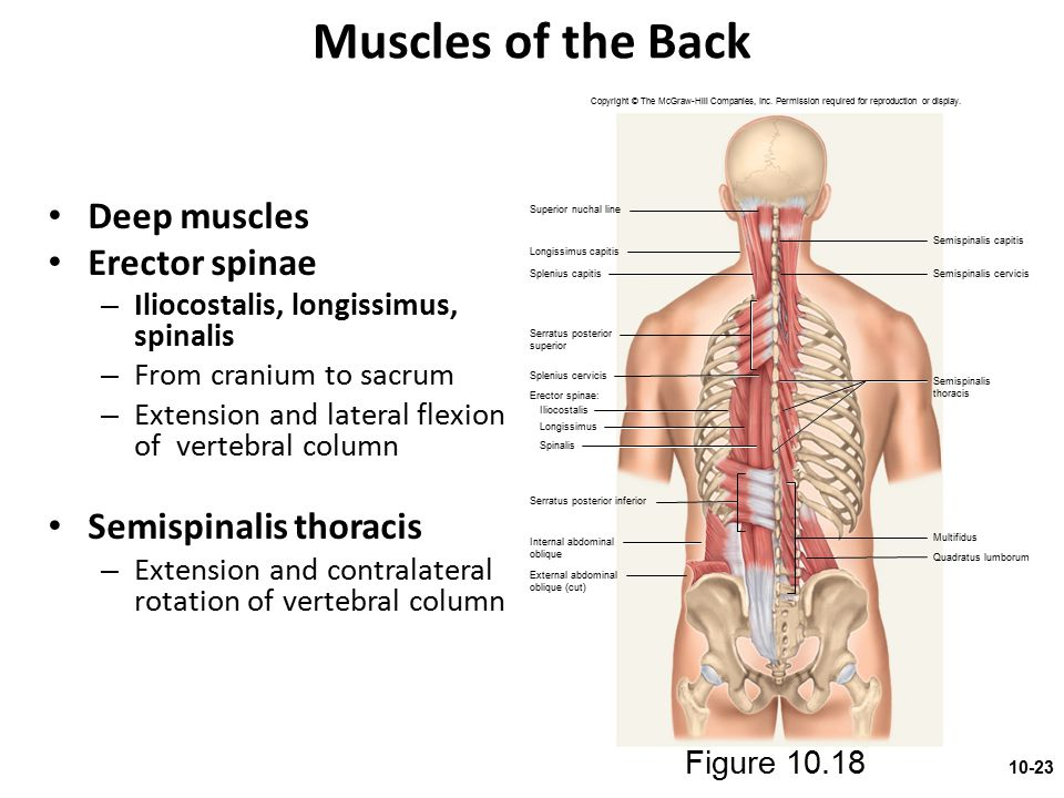 Muscles of the Back Deep muscles Erector spinae – Iliocostalis, longissimus, spinalis – From cranium to sacrum – Extension and lateral flexion of vert