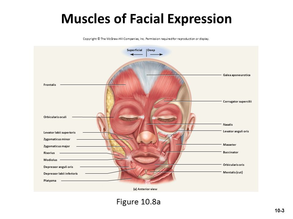 Muscles of Facial Expression Frontalis (cut)Galea aponeurotica Orbicularis oculi Sternohyoid Orbicularis oris Occipitalis Omohyoid Sternothyroid Inferior pharyngeal constrictor Sternocleidomastoid Masseter Thyrohyoid Zygomatic arch Levator labii superioris Zygomaticus minor Zygomaticus major Depressor labii inferioris Depressor anguli oris Buccinator Risorius (cut) Nasalis Corrugator supercilii Mentalis Levator scapulae (b) Lateral view Modiolus Temporalis Copyright © The McGraw-Hill Companies, Inc.