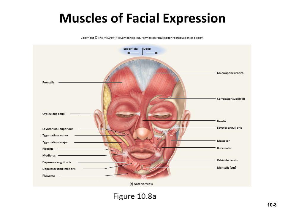 Muscles of Facial Expression Figure 10.8a Frontalis Galea aponeurotica Orbicularis oculi Platysma (a) Anterior view Mentalis (cut) Orbicularis oris Ma