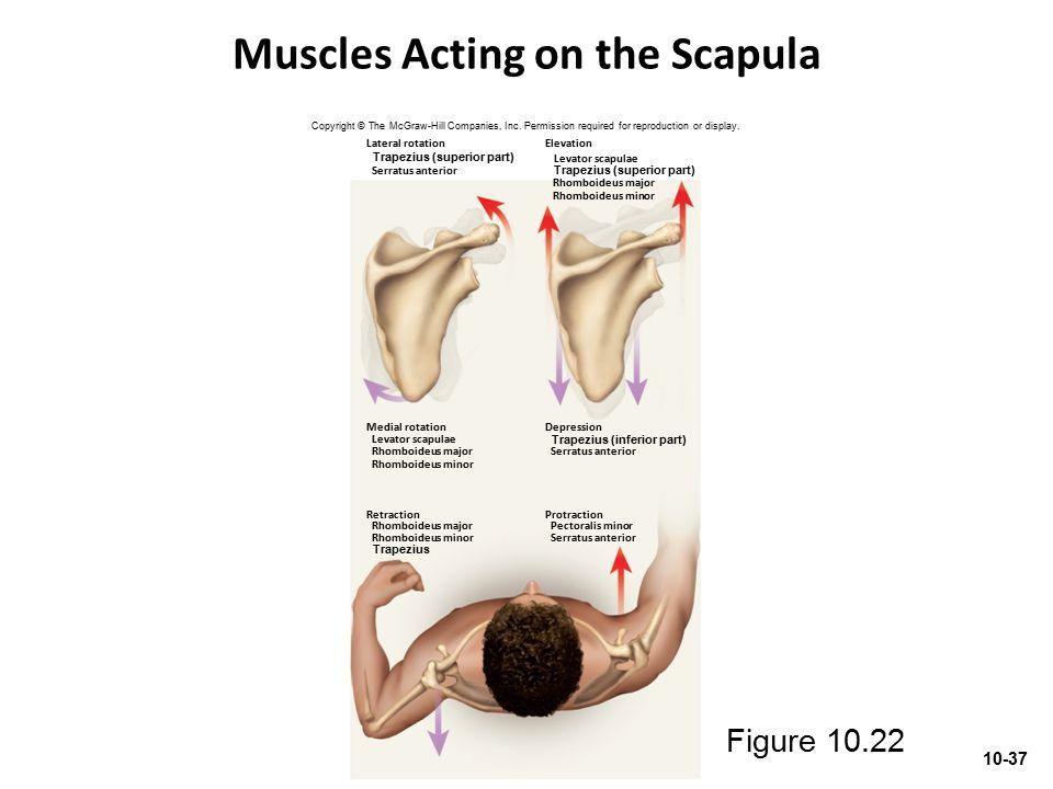 Muscles Acting on the Scapula Protraction Pectoralis minor Serratus anterior Retraction Rhomboideus major Rhomboideus minor Medial rotation Levator sc