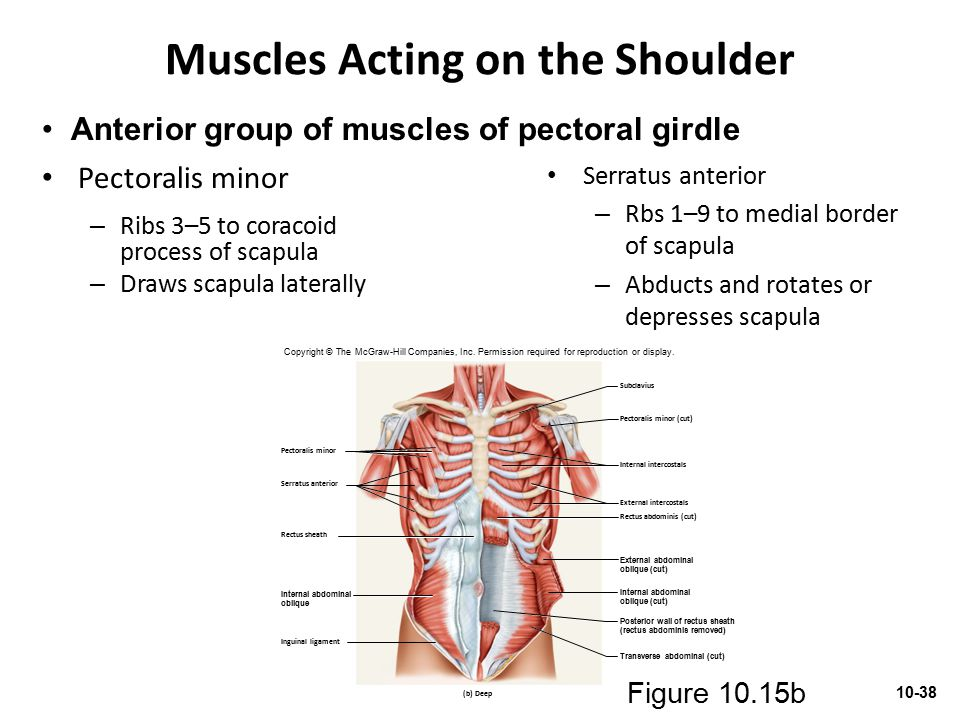 Muscles Acting on the Shoulder Pectoralis minor – Ribs 3–5 to coracoid process of scapula – Draws scapula laterally Serratus anterior – Rbs 1–9 to med