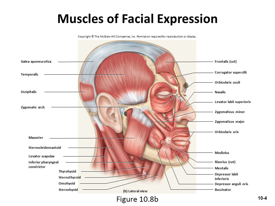 Muscles of Respiration Breathing requires the use of muscles enclosing thoracic cavity – Diaphragm, external intercostal, internal intercostal, and innermost intercostal muscles Inspiration—air intake Expiration—expelling air 10-15