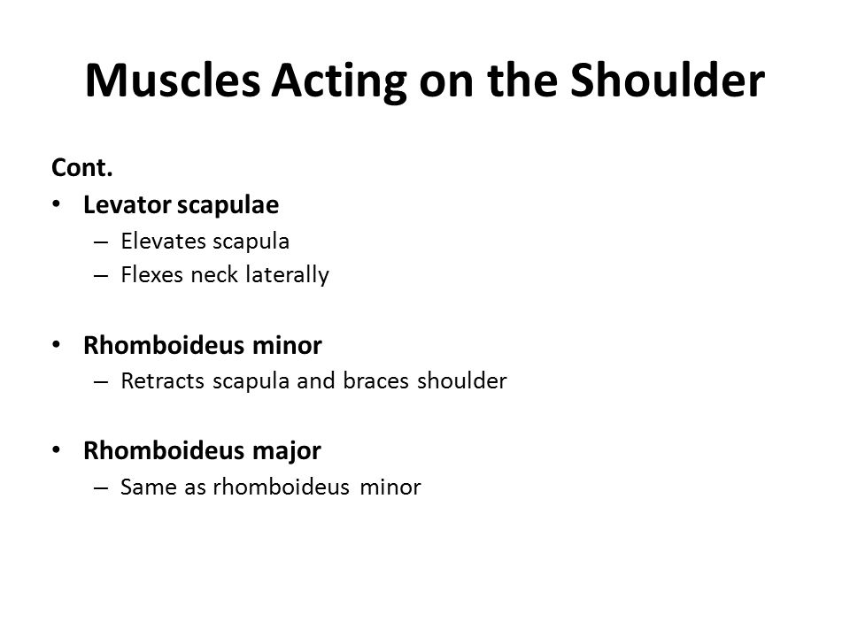 Muscles Acting on the Shoulder Cont. Levator scapulae – Elevates scapula – Flexes neck laterally Rhomboideus minor – Retracts scapula and braces shoul