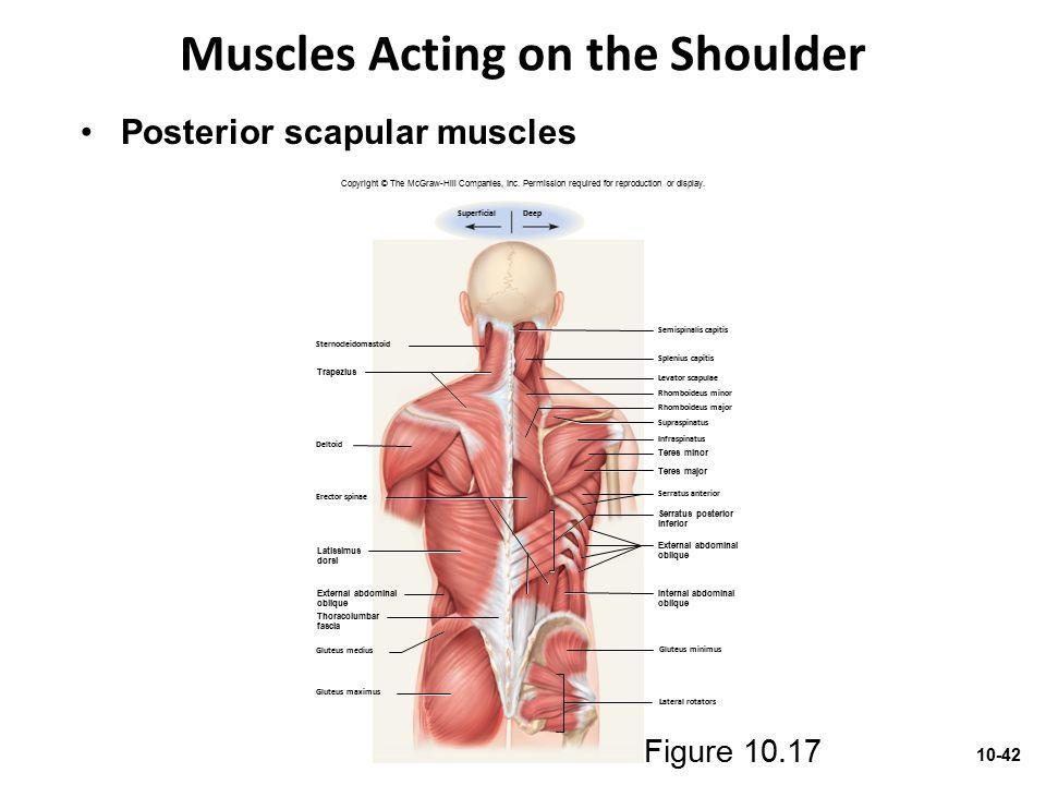 Muscles Acting on the Shoulder Figure 10.17 Semispinalis capitis Sternocleidomastoid Deltoid Levator scapulae Rhomboideus minor Rhomboideus major Infr