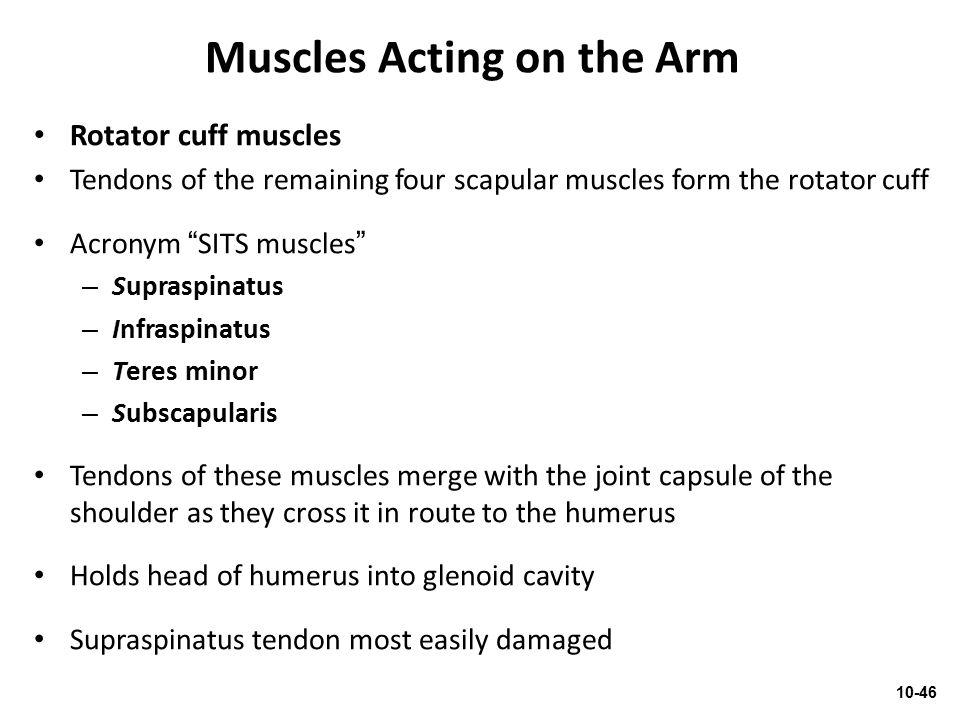 """Muscles Acting on the Arm Rotator cuff muscles Tendons of the remaining four scapular muscles form the rotator cuff Acronym """"SITS muscles"""" – Supraspin"""