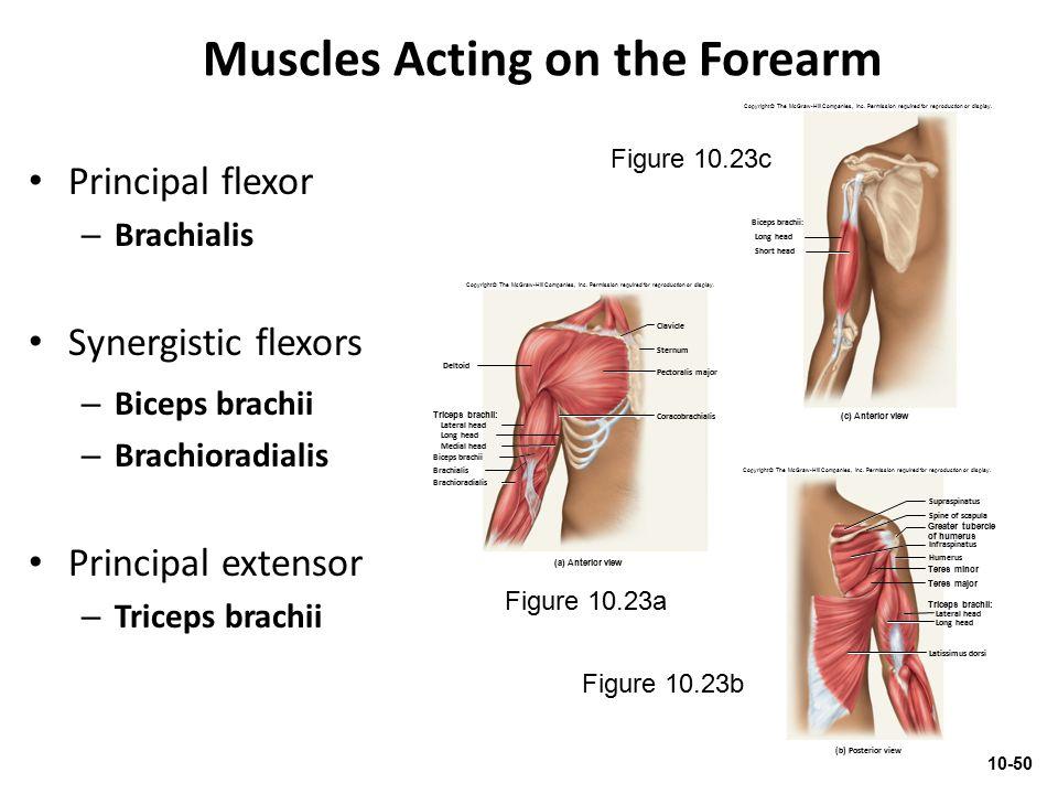 Muscles Acting on the Forearm Principal flexor – Brachialis Synergistic flexors – Biceps brachii – Brachioradialis Principal extensor – Triceps brachi