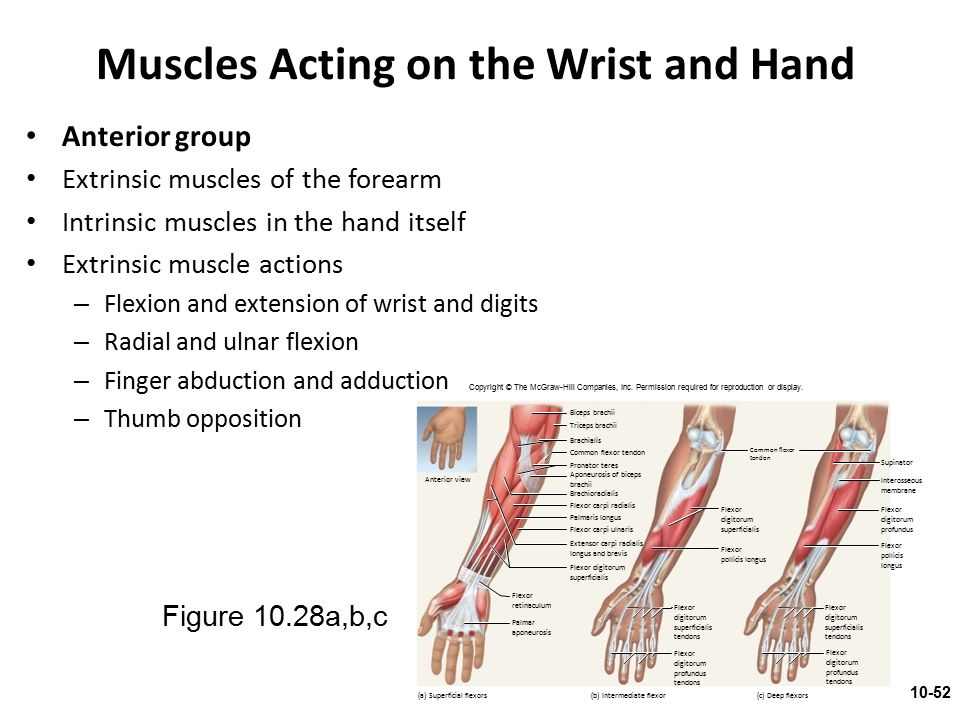 Muscles Acting on the Wrist and Hand Anterior group Extrinsic muscles of the forearm Intrinsic muscles in the hand itself Extrinsic muscle actions – F