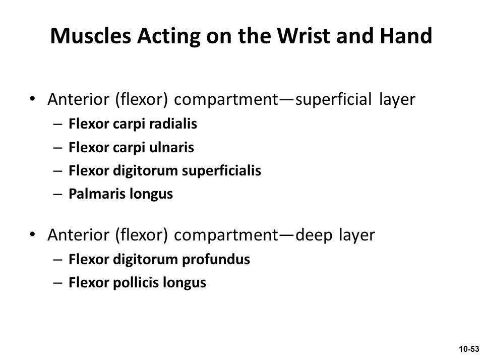 Anterior (flexor) compartment—superficial layer – Flexor carpi radialis – Flexor carpi ulnaris – Flexor digitorum superficialis – Palmaris longus Ante