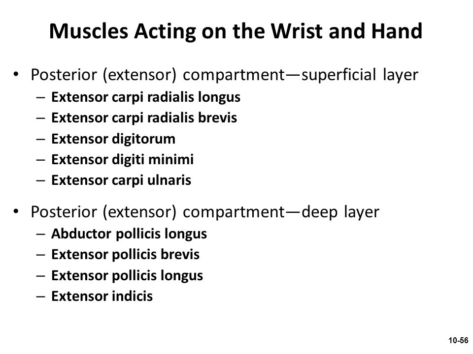 Muscles Acting on the Wrist and Hand Posterior (extensor) compartment—superficial layer – Extensor carpi radialis longus – Extensor carpi radialis bre