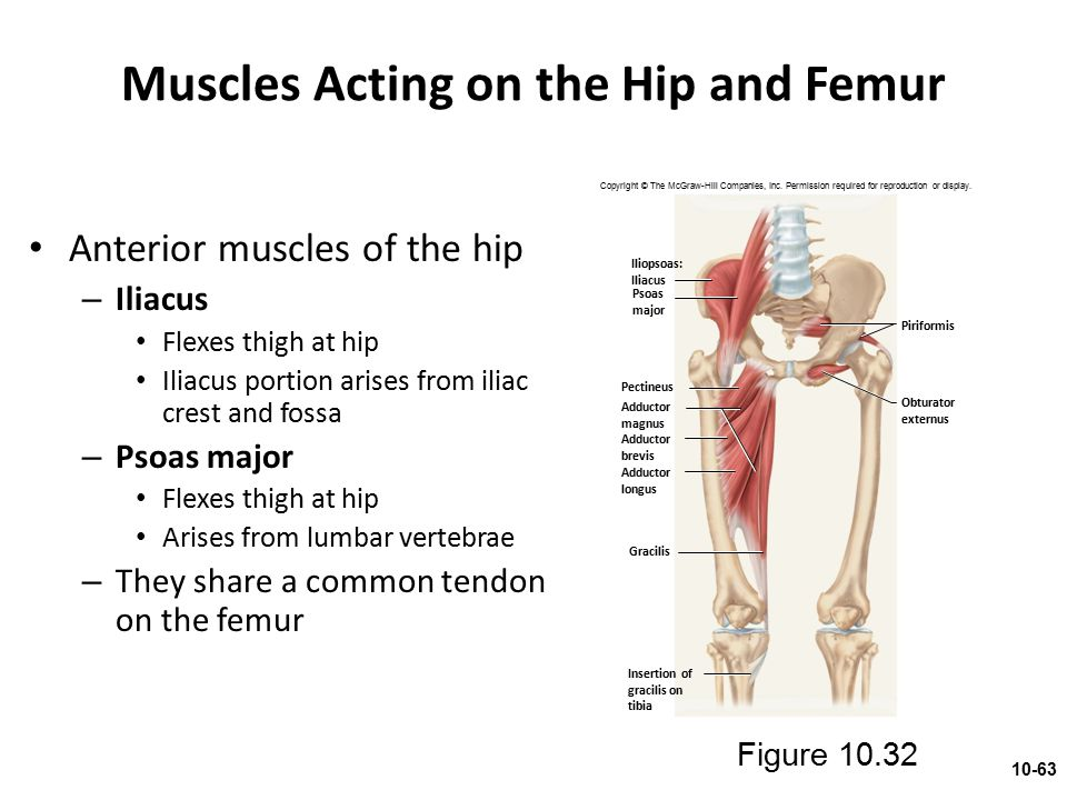 Muscles Acting on the Hip and Femur Anterior muscles of the hip – Iliacus Flexes thigh at hip Iliacus portion arises from iliac crest and fossa – Psoa