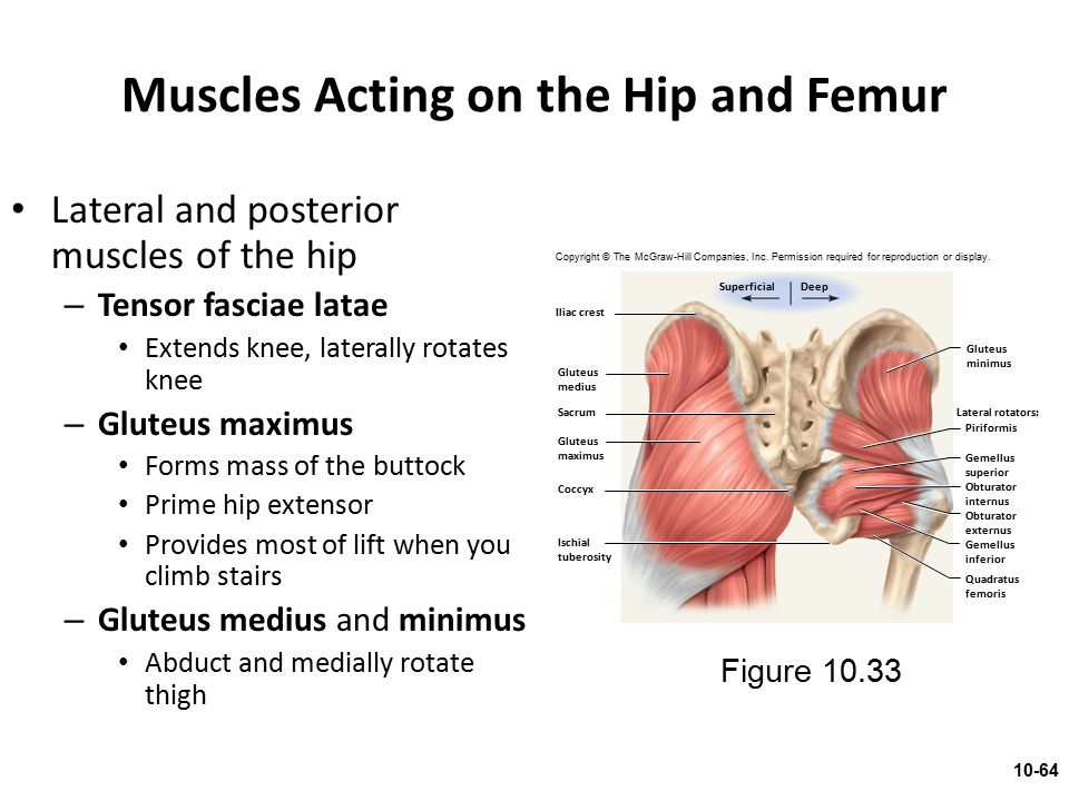 Muscles Acting on the Hip and Femur Lateral and posterior muscles of the hip – Tensor fasciae latae Extends knee, laterally rotates knee – Gluteus max