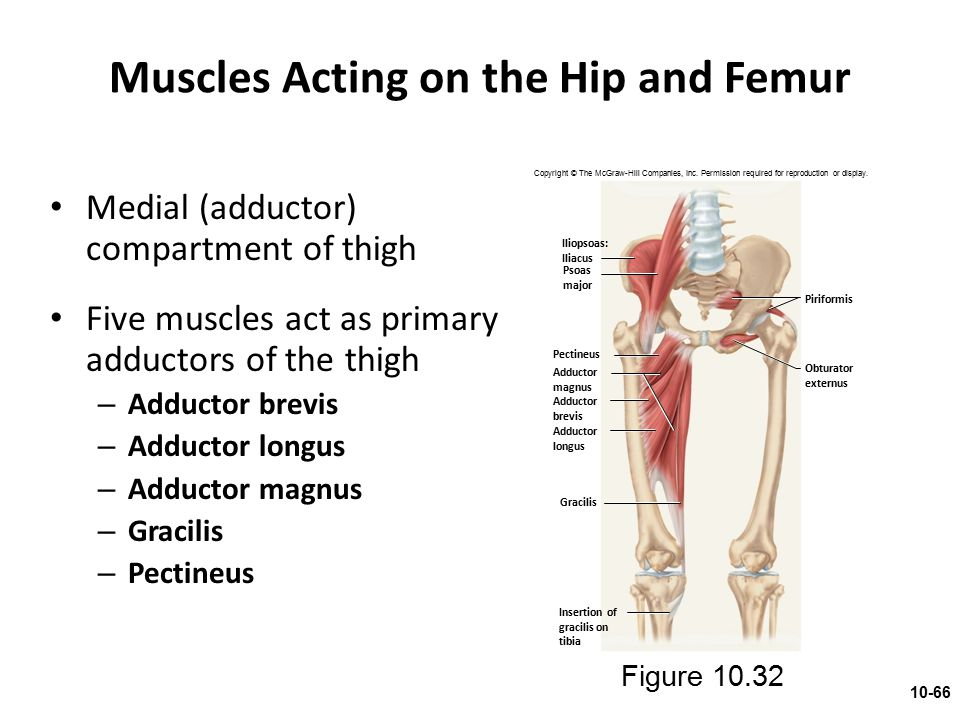 Muscles Acting on the Hip and Femur Medial (adductor) compartment of thigh Five muscles act as primary adductors of the thigh – Adductor brevis – Addu
