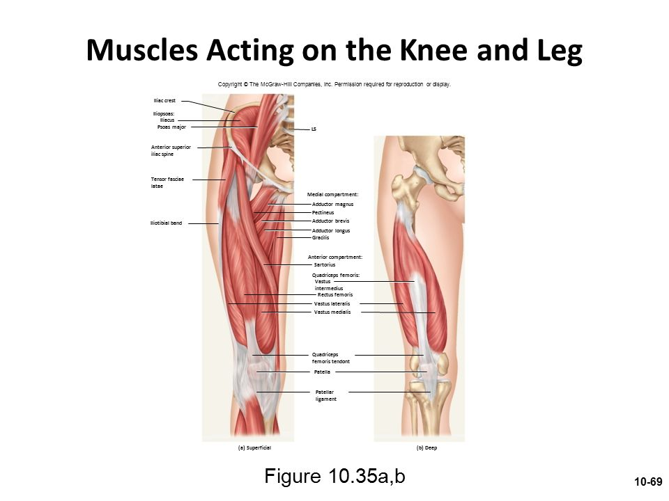 Muscles Acting on the Knee and Leg Figure 10.35a,b Copyright © The McGraw-Hill Companies, Inc. Permission required for reproduction or display. Iliac