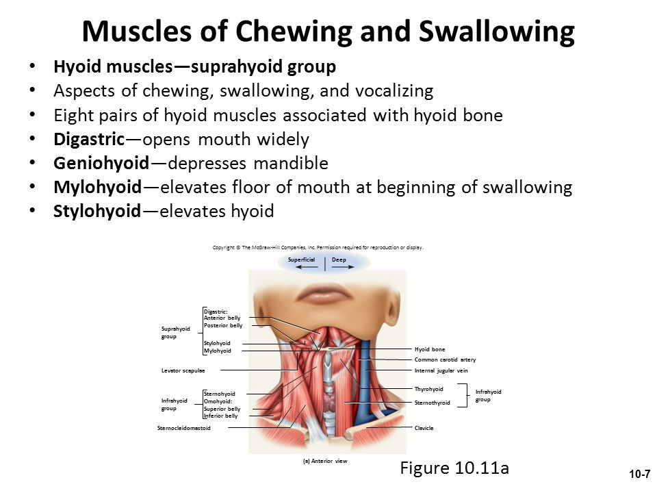 Muscles of Chewing and Swallowing Hyoid muscles—suprahyoid group Aspects of chewing, swallowing, and vocalizing Eight pairs of hyoid muscles associate