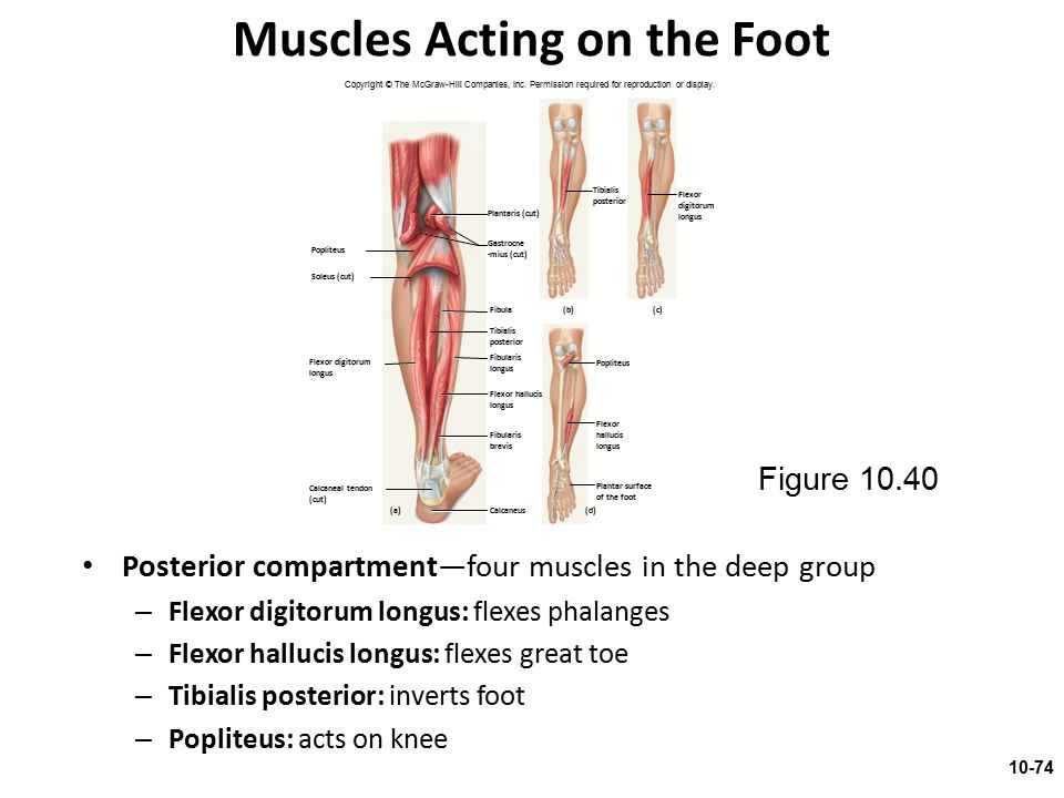 Muscles Acting on the Foot Posterior compartment—four muscles in the deep group – Flexor digitorum longus: flexes phalanges – Flexor hallucis longus: