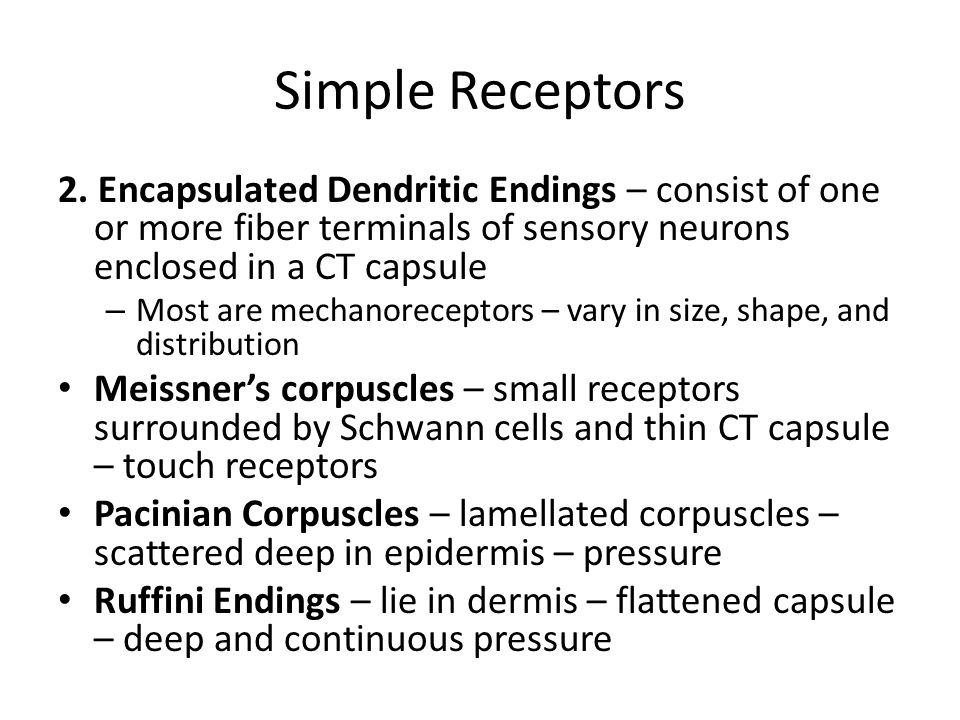 Simple Receptors 2. Encapsulated Dendritic Endings – consist of one or more fiber terminals of sensory neurons enclosed in a CT capsule – Most are mec