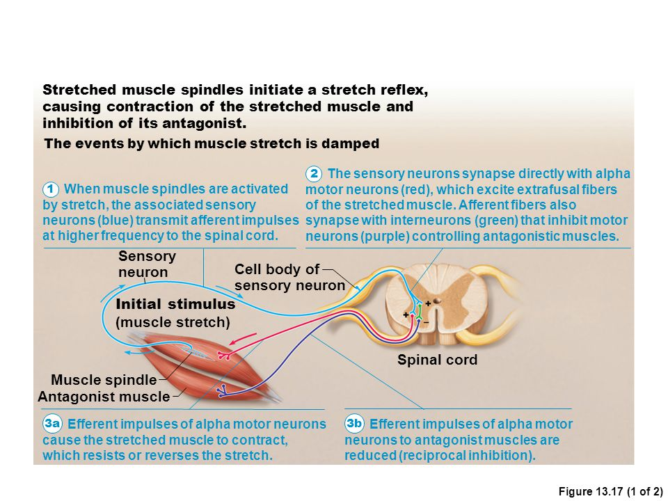 Figure 13.17 (1 of 2) Stretched muscle spindles initiate a stretch reflex, causing contraction of the stretched muscle and inhibition of its antagonis