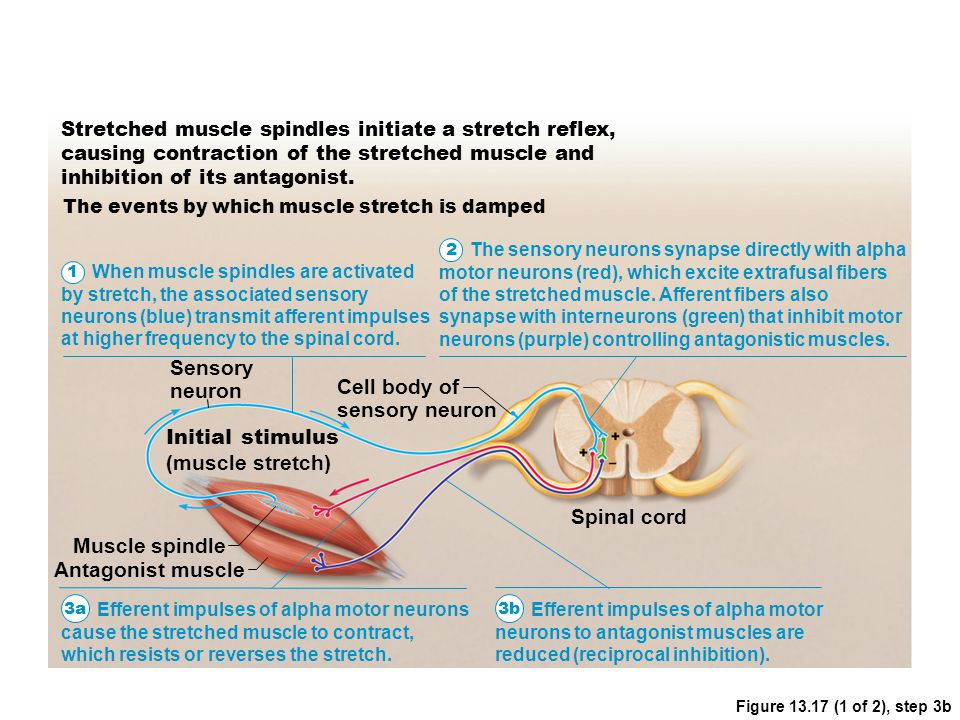 Figure 13.17 (1 of 2), step 3b Stretched muscle spindles initiate a stretch reflex, causing contraction of the stretched muscle and inhibition of its