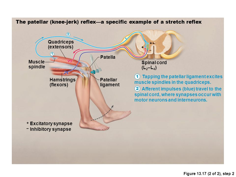 Figure 13.17 (2 of 2), step 2 The patellar (knee-jerk) reflex—a specific example of a stretch reflex Muscle spindle Quadriceps (extensors) Hamstrings