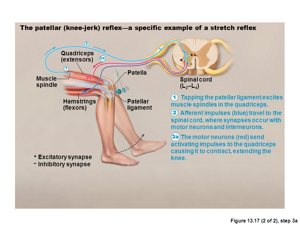 Figure 13.17 (2 of 2), step 3a The patellar (knee-jerk) reflex—a specific example of a stretch reflex Muscle spindle Quadriceps (extensors) Hamstrings