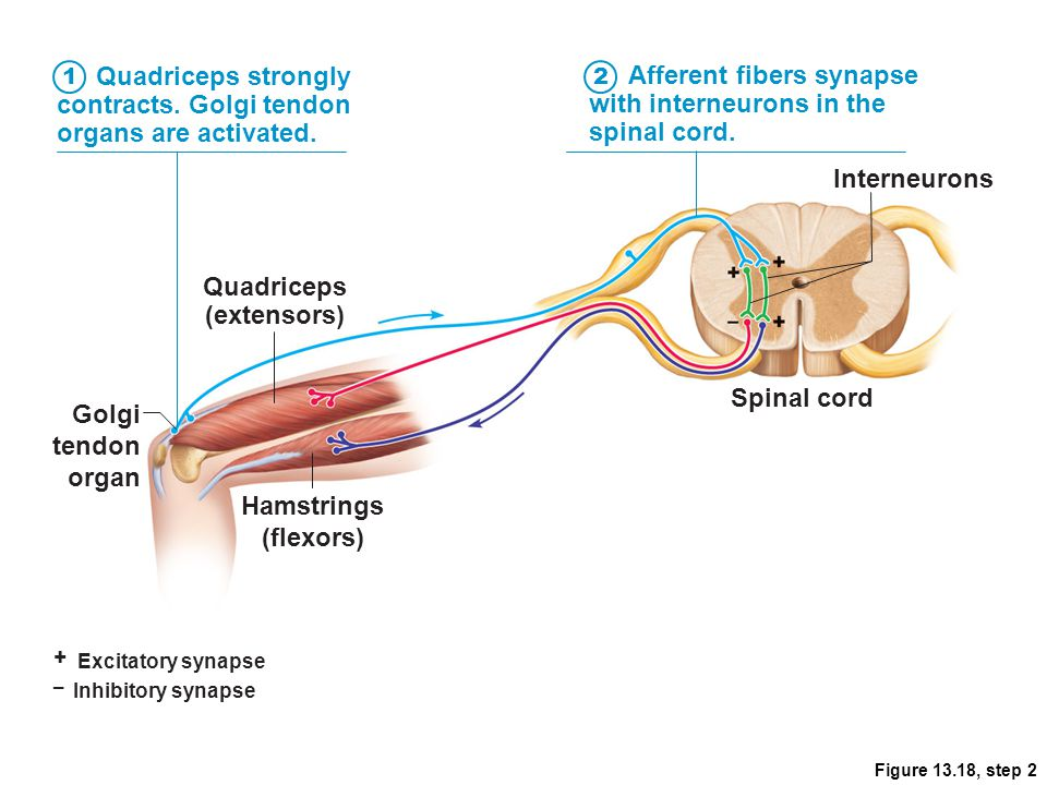 Figure 13.18, step 2 + Excitatory synapse – Inhibitory synapse Quadriceps strongly contracts. Golgi tendon organs are activated. Afferent fibers synap