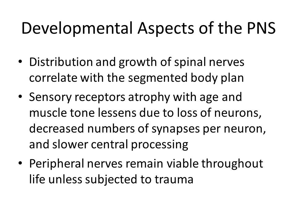 Developmental Aspects of the PNS Distribution and growth of spinal nerves correlate with the segmented body plan Sensory receptors atrophy with age an
