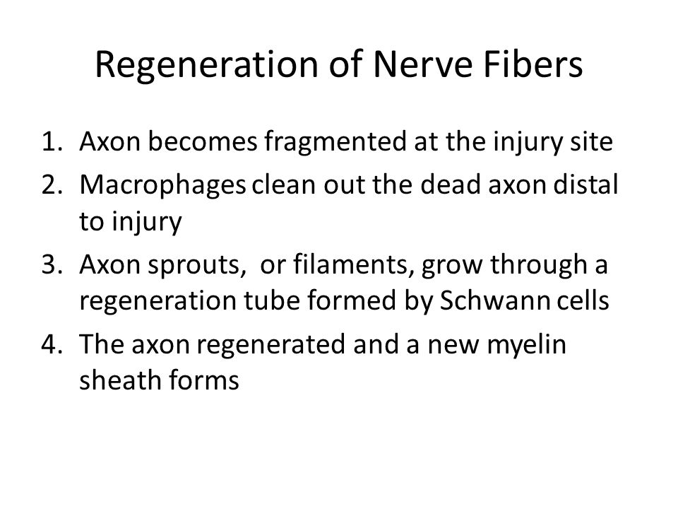 Regeneration of Nerve Fibers 1.Axon becomes fragmented at the injury site 2.Macrophages clean out the dead axon distal to injury 3.Axon sprouts, or fi