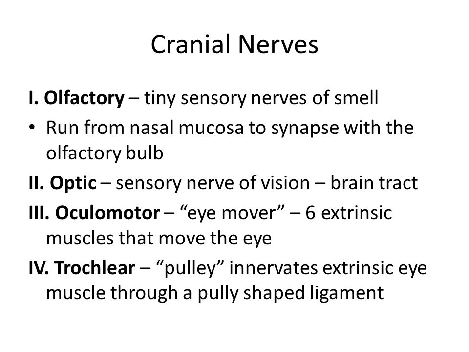Cranial Nerves I. Olfactory – tiny sensory nerves of smell Run from nasal mucosa to synapse with the olfactory bulb II. Optic – sensory nerve of visio