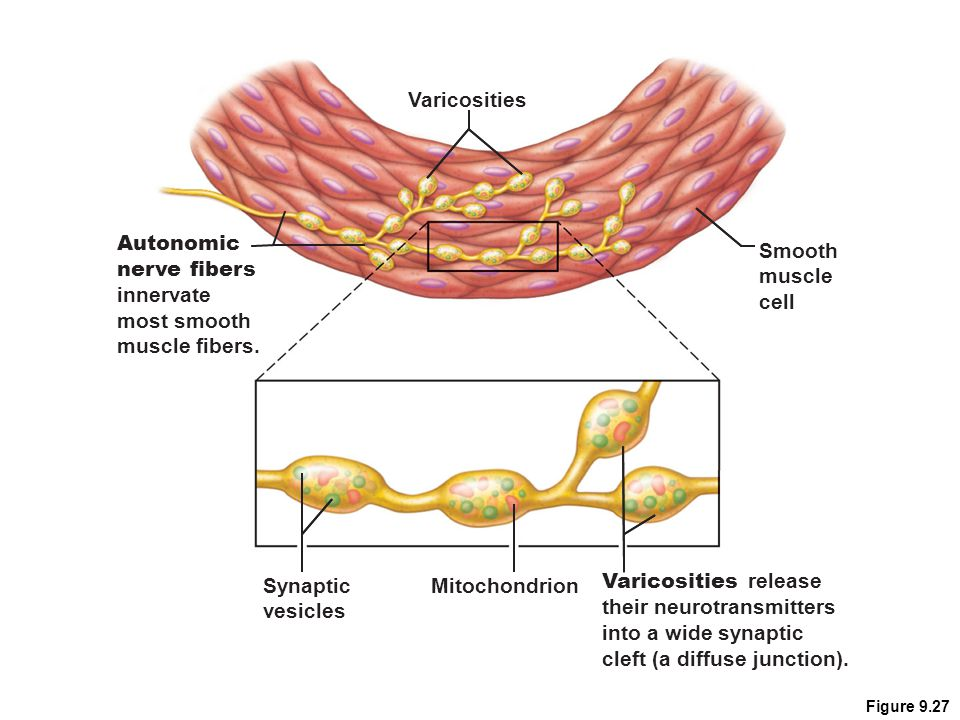 Figure 9.27 Smooth muscle cell Varicosities release their neurotransmitters into a wide synaptic cleft (a diffuse junction). Synaptic vesicles Mitocho