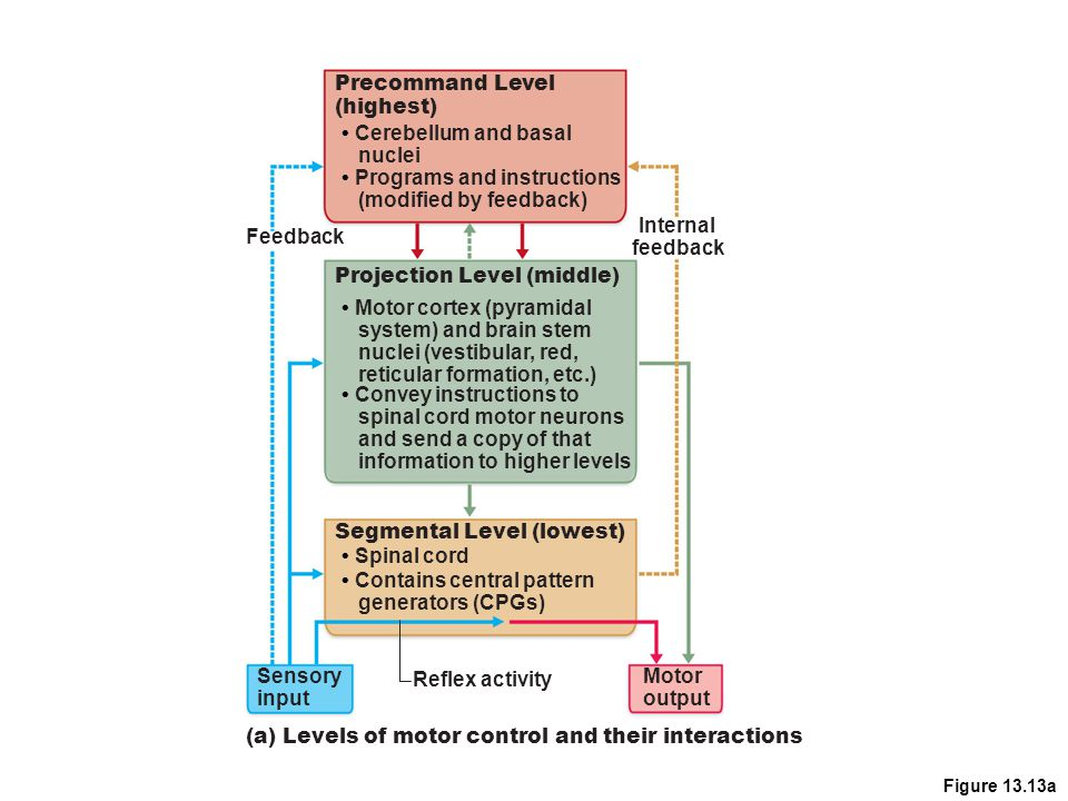 Figure 13.13a Feedback Reflex activity Motor output Sensory input (a) Levels of motor control and their interactions Precommand Level (highest) Cerebe