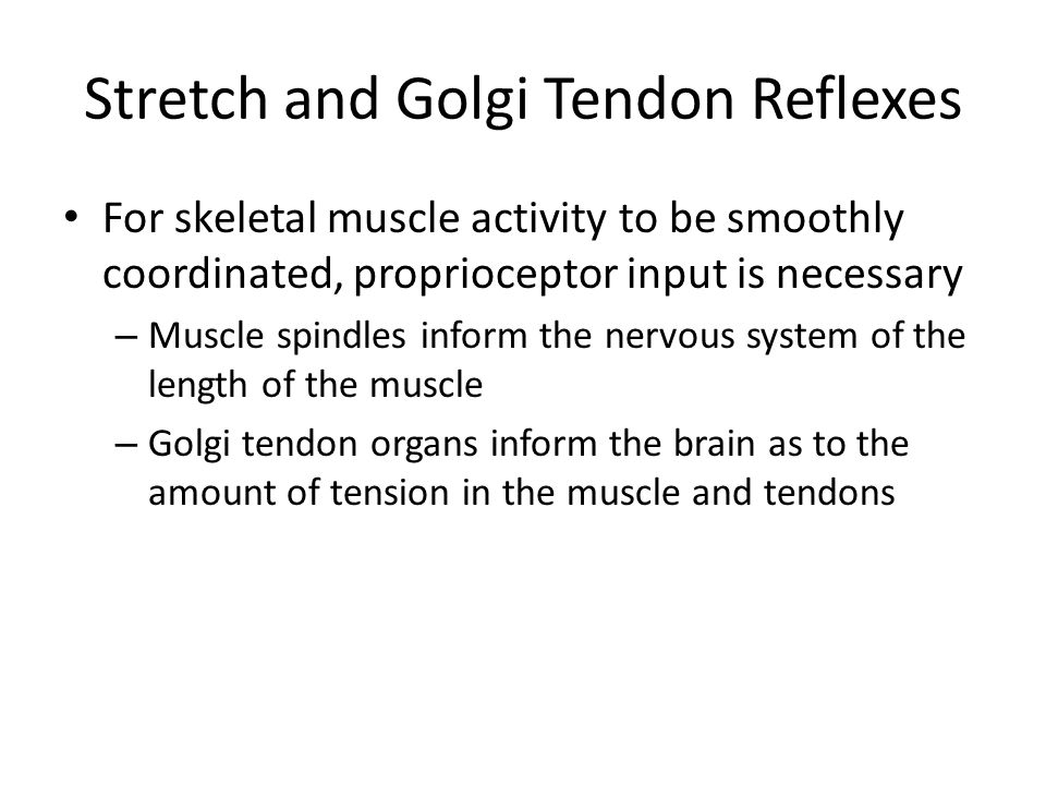 Stretch and Golgi Tendon Reflexes For skeletal muscle activity to be smoothly coordinated, proprioceptor input is necessary – Muscle spindles inform t