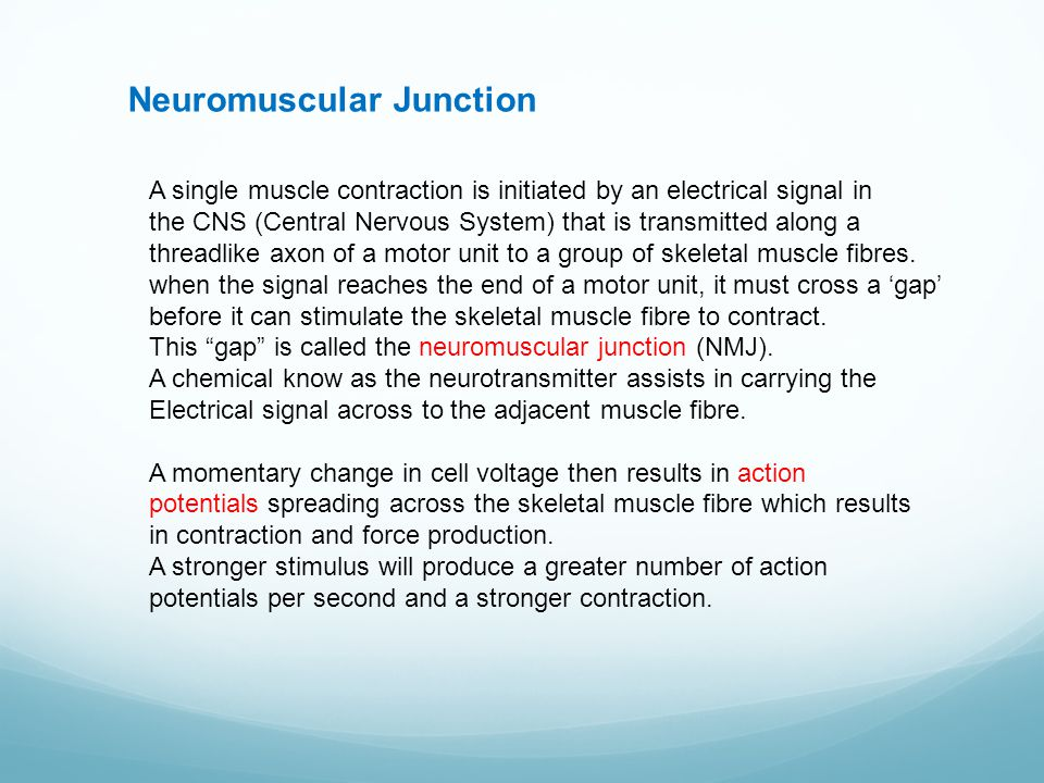 Neuromuscular Junction A single muscle contraction is initiated by an electrical signal in the CNS (Central Nervous System) that is transmitted along