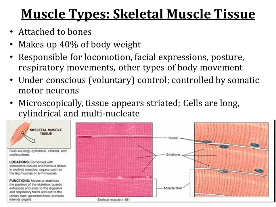 Muscle Types: Smooth Muscle Tissue Makes up walls of organs and blood vessels; Propel urine, mix food in digestive tract, dilate/constrict pupils, regulate blood flow Involuntary control by endocrine and autonomic nervous system Tissue is non-striated; Cells are short, spindle-shaped and mononucleated Extremely extensible but maintains ability to contract