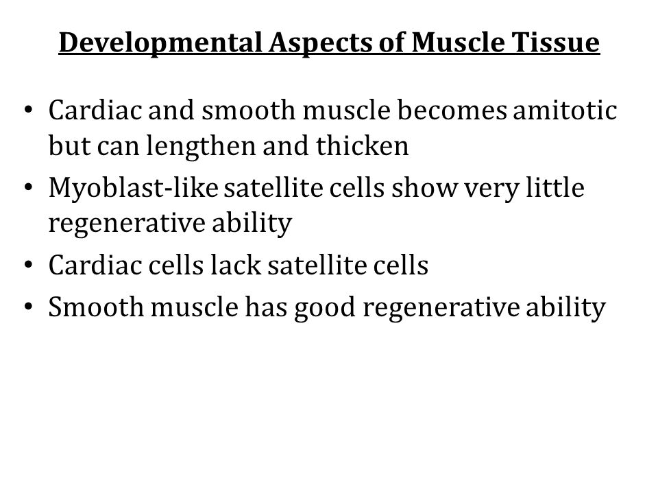 Developmental Aspects of Muscle Tissue Cardiac and smooth muscle becomes amitotic but can lengthen and thicken Myoblast-like satellite cells show very