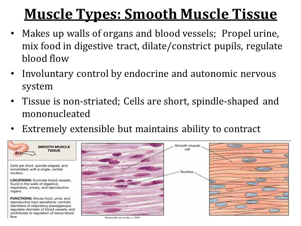 Muscle Types: Cardiac Muscle Tissue Makes up myocardium of heart Autorhythmic, generates movement of blood Unconciously (involuntarily) controlled by endocrine and autonomic nervous systems Microscopically appears striated; cells are short, branching and mono-nucleated Cells connected to each other at intercalated disks
