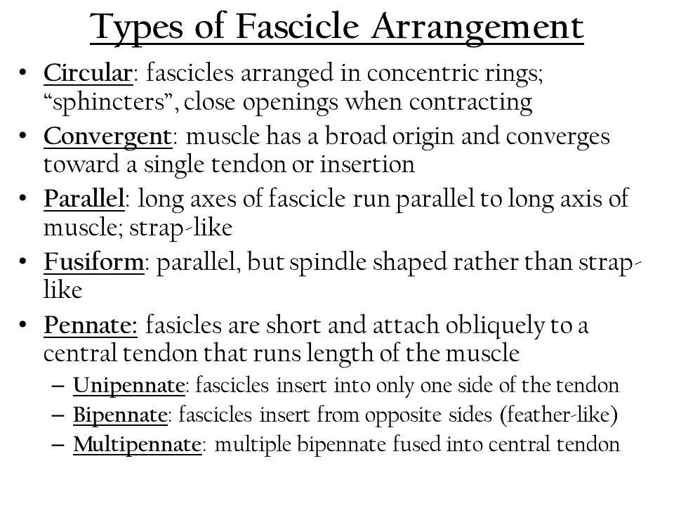 "Types of Fascicle Arrangement Circular : fascicles arranged in concentric rings; ""sphincters"", close openings when contracting Convergent : muscle has"