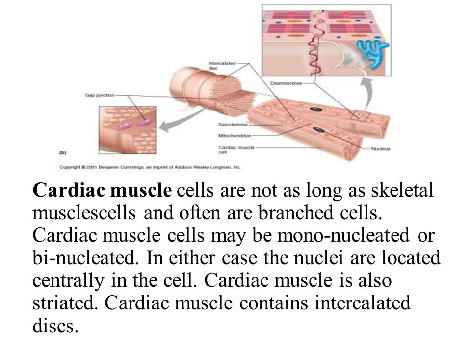 Cardiac muscle cells are not as long as skeletal musclescells and often are branched cells. Cardiac muscle cells may be mono-nucleated or bi-nucleated