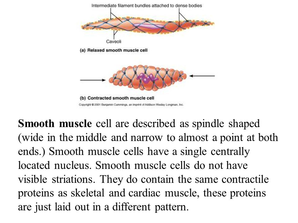 Smooth muscle cell are described as spindle shaped (wide in the middle and narrow to almost a point at both ends.) Smooth muscle cells have a single c